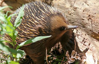 (1) Echidna searching for food; Dandenong Ranges, Victoria