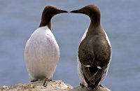 "Guillemots on the cliffs of Staple Island  (Uria aalge)  ""and another thing...!"""