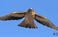 Little Eagle in flight