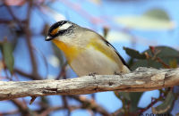 Striated Pardelote displaying