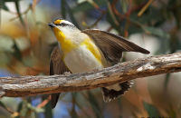 Striated Pardelote wing-fluttering display