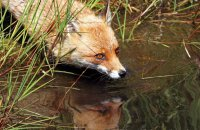 (i)  Red Fox (Vulpes vulpes)