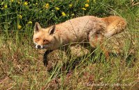 (v)  Red Fox (Vulpes vulpes)