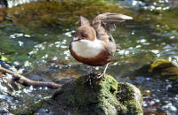 (1) Wyre Forest Dipper