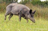 (i) Wild Boar (Sus scrofa)