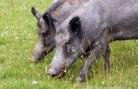(ii) Wild Boar (Sus scrofa)