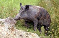(iii) Wild Boar (Sus scrofa)