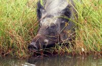 (iv) Wild Boar foraging at the water's edge (Sus scrofa)