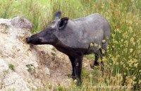 (v) Wild Boar (Sus scrofa)