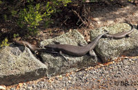 King Skinks at Mount Clarence, Albany, W.A.