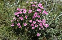 Rose Banjine flowers (Pimelea rosea)