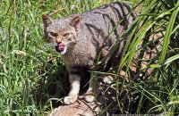 (iii) Scottish Wildcat (Felis sylvestris)
