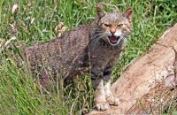 (i) Scottish Wildcat (Felis sylvestris)