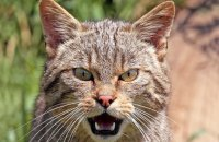 (ii) Scottish Wildcat (Felis sylvestris)