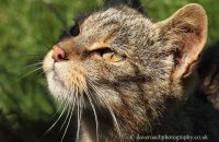 (v) Scottish Wildcat (Felis sylvestris)