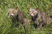 (vi) Scottish Wildcats (Felis sylvestris)