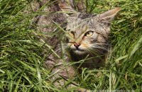 (viii) Scottish Wildcat (Felis sylvestris)