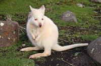 Albino wallaby, Bruny Island, Tasmania