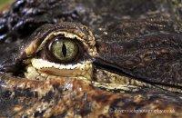 'Eye to eye with Albert' - American Alligator (Alligator mississippiensis)