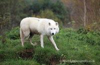 Arctic Wolf (Canis lupus arctos) 4