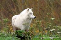 Arctic Wolf (Canis lupus arctos) 7