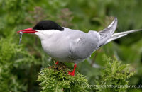 Arctic Tern with Sand eel (Sterna paradisaea)