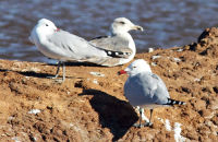 2 Audouin's Gulls with a Lesser Black-backed Gull