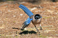 Azure-winged Magpie (Cyanopica cyanus) foraging