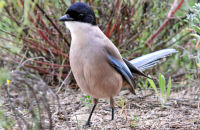 (1) Azure-winged Magpie