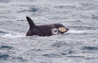 (9) Juvenile Orca, yet to develop the white skin colour of the adults