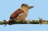 Barred Puffbird (Nystalys radiatus)