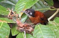 Bay Wren (Cantorchilus nigricapillus)