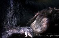 Bear Paws - Spectacled Bear (Tremarctos ornatus)