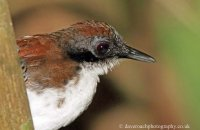 Bicolored Antbird (Gymnopithys leucaspis)