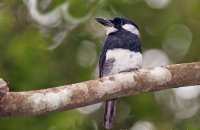 Black-breasted Puffbird (Notharchus pectoralis)