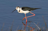 (1) Black-winged Stilt