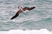Blue-footed Booby fishing in the surf  (Sula nebouxii excisa)