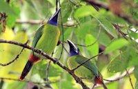 Blue-throated Toucanets (Aulacorynchus caeruleogularis)