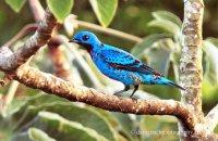 Blue Cotinga (Cotinga nattererii) male