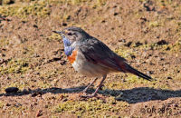 (1) Bluethroat