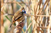 Bluethroat (Luscinia svecica) in a reedbed