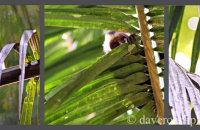 Brown Capuchins (Cebus apella)