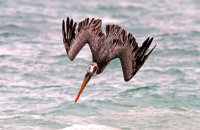 Brown Pelican diving just-off shore  (Pelicanus occidentalis urinator)