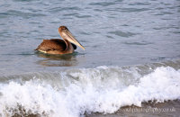 Brown Pelican fishing in the surf  (Pelicanus occidentalis urinator)