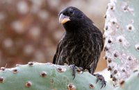Cactus Ground Finch (Geospiza scandens)