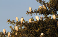 (2) Cattle Egret roost