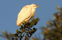 (1) Cattle Egret