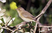 (1) (Common) Chiffchaff  - Large numbers in the Algarve in February