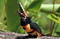 Collared Aracari (Pteroglossus torquatus) enjoying a banana