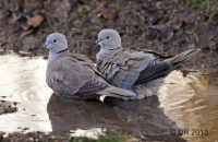 Collared Doves bathing in a puddle